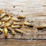 termites control in your home
