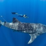 Whale Sharks Tour to Cancun